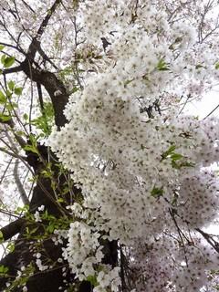 ウィザードの桜